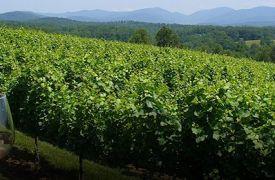 Enjoying Wine In The Vineyard